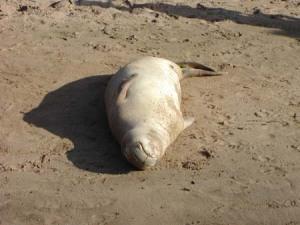 Sleeping Monk Seal